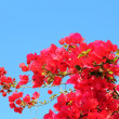 Bougainvillaea Against Blue Sky Background — Stock Photo