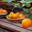 Oranges in the Garden — Stock Photo