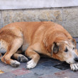 Stock Photo: Stray Dog in Street