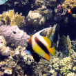 Red sea bannerfish — Stock Photo