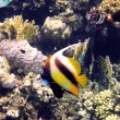 Red sea bannerfish — Stock Photo #2696756