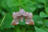 Poplar Hawk-moth — Stock Photo