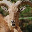 Stock Photo: Moroccan mountain goat