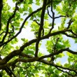 plane tree — Stock Photo