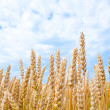 Royalty-Free Stock Photo: Gold wheat field