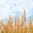 Gold wheat field — Stock Photo