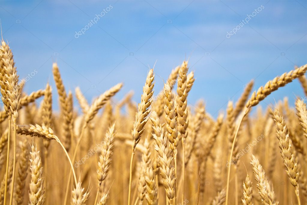 Gold wheat field — Stock Photo #3404731