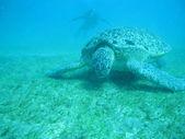 Želva a potápěč — Stock fotografie