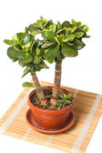 Crassula (money tree) on straw mat — Stock Photo