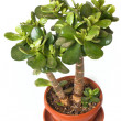 Crassula (money tree) — Stock Photo