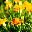 Marigolds — Stock Photo