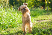 Dog on walk in the summer — Stock Photo
