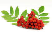 Red rowanberry — Stock Photo