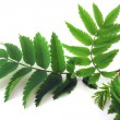 Twig with green leaves — Stock Photo