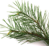 Twig of pine — Stock Photo