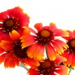 Foto Stock: Scarlet flowers