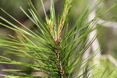 Spruce — Stock Photo