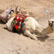 Stock Photo: Two camel