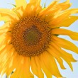 Sunflowers — Stock Photo #3685447