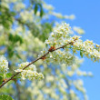 Blooming bird-cherry tree — Stockfoto