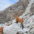 Mountain goat - 图库照片