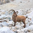 Leader of the pack goats - 图库照片