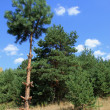 Pines on background blue sky — Stock Photo