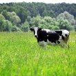 Cow in green field at rural area — Stock Photo