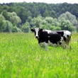 Cow in green field at rural area - Stock Photo