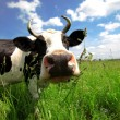 Funny cow in green field — Stock Photo #2781717