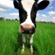 Funny cow in green field at rural area — Stock Photo