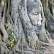 Stone budda head in the tree roots — Stok fotoğraf