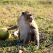 Monkey with coconut - Stock Photo