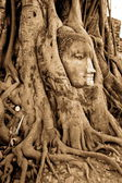 Stone budda head in the tree roots — Stock Photo