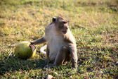 Monkey with coconut — Stock Photo