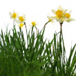 Stock Photo: Yellow spring daffodils in green grass