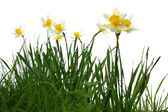 Yellow spring daffodils in green grass — Stock fotografie