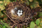 Bird nest with eggs — Stockfoto