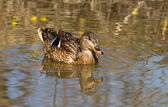 Wild Duck. — Stock Photo