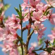 Flowering peach tree on a background sky — Stock Photo