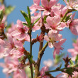 Flowering peach tree on a background sky - Stock Photo