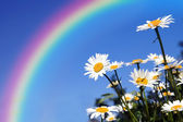 Daisies field under a rainbow protection — Stock Photo
