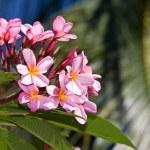 Tropical flower with leaf.Frangipani — Stock Photo