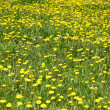 Royalty-Free Stock Photo: Background with field of dandelion.