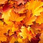 Background group autumn orange leaves. — Stock Photo