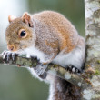 Squirrel on Tree - Stock Photo