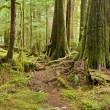 Old growth forest - Stock Photo