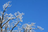 Branches in hoarfrost — Stock Photo
