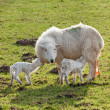 New born lamb twins with mother — Stock Photo