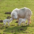 Stock Photo: New born lamb twins with mother